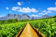 令人敬畏的山的葡萄园 免版税库存图片