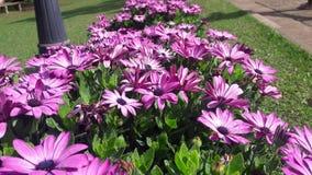 令人敬畏的非洲雏菊开花与紫色瓣和中间蓝色 免版税库存图片