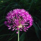 以一个球的形式桃红色花在深绿背景 库存照片