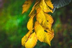 以一个绿色森林为背景的黄色秋叶 免版税库存照片