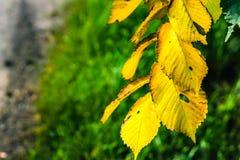 以一个绿色森林为背景的黄色秋叶 库存图片