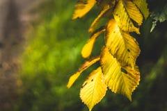 以一个绿色森林为背景的黄色秋叶 免版税图库摄影