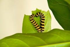 以一个重点的形式二条毛虫在叶子 免版税库存照片