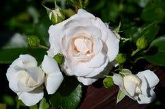 以他们的绿色叶子为背景的一朵大和两朵小白玫瑰 免版税库存照片