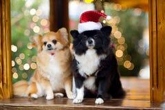 以光亮的圣诞树为背景的两条迷人的波美丝毛狗狗 免版税图库摄影