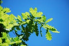 以天空蔚蓝为背景的橡木叶子 植物群的狂放的本质的夏天风景 库存照片