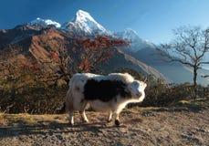 以山上面为背景的逗人喜爱的牦牛 尼泊尔 Himalay 库存图片