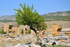 以希拉波利斯古城的废墟的为背景一棵偏僻的树 库存图片