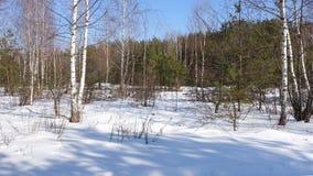 以杉木森林为背景的分别地站立的桦树 库存图片