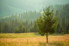 以森林和山为背景的一棵孤立杉树 免版税库存照片