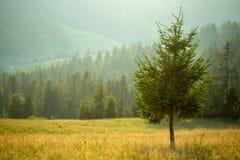 以森林和山为背景的一棵孤立杉树 免版税库存图片