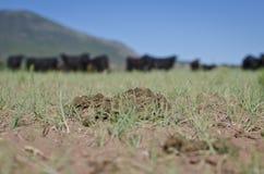 以沙漠领域为基础的母牛饼 免版税图库摄影