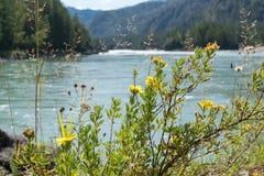 以河和山为背景的黄色野花 免版税库存图片