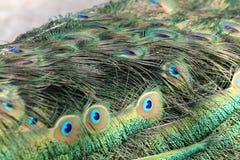 以眼睛为特色的男性孔雀羽毛 库存照片