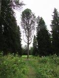 以竖琴的形式树 免版税库存照片