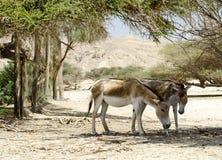 以色列本质onagers保护的预留 库存照片