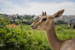 以色列瞪羚 免版税库存图片