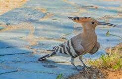 以色列` s全国鸟,欧亚戴胜upupa epops 库存照片