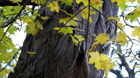 以金合欢的树干的为背景被染黄的槭树叶子在风沙沙响 股票录像