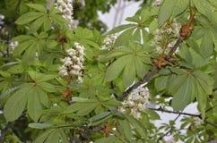 以金字塔形笔直racemes-panicles的形式,开花的欧洲七叶树发布了大开花, 开花中型,丝毫 免版税库存图片