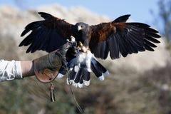 以鹰狩猎者朋友 库存照片