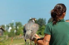 以鹰狩猎者 库存图片