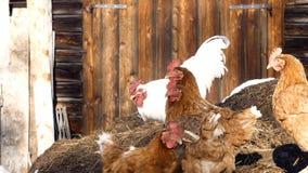 任意吃草在冬天的雄鸡和母鸡 库存照片