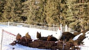 任意吃草在冬天的雄鸡和母鸡 免版税库存图片