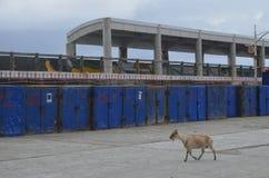 任意漫游在兰屿海岛的野生被介绍的山羊是对地方植物生物多样性的一个威胁 库存图片