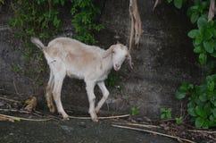 任意漫游在兰屿海岛的野生被介绍的山羊是对地方植物生物多样性的一个威胁 免版税库存照片