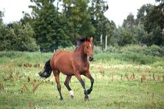 任意疾驰在牧场地的海湾马 免版税库存照片