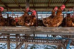 仿照村民样式的养鸡场 免版税库存照片