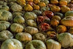 仿造在秸杆特写镜头秋天背景庄稼中的绿色橙色南瓜 库存照片