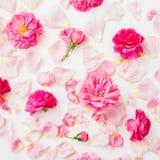 仿造桃红色在白色背景的玫瑰花的构成 平的位置,顶视图 花纹理 免版税库存照片