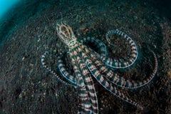 仿造章鱼在Lembeh海峡 免版税库存照片