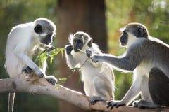 企业猴子 免版税图库摄影