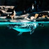 企鹅下潜和游泳在水下以岸和其他企鹅为背景 免版税库存照片