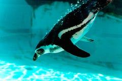 企鹅下潜和游泳在水下 免版税库存图片