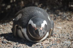 企鹅休眠 库存照片