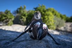 企鹅冰砾海滩开普敦南非 免版税图库摄影
