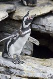 企鹅呼喊 库存照片