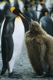 企鹅哺养的小鸡 库存图片