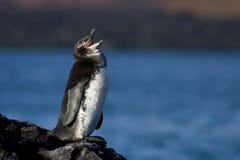 企鹅唱歌 免版税库存图片