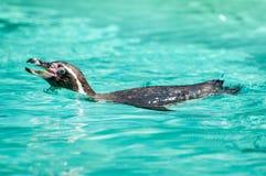 企鹅喜爱游泳,这一个在透明的水中在动物学公园 库存图片
