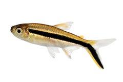 企鹅四Thayeria boehlkei blackline penguinfish水族馆鱼 免版税库存图片
