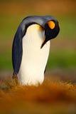 企鹅国王、Aptenodytes patagonicus坐在草的和清洗的全身羽毛,福克兰群岛 在草的企鹅 黑色和whi 免版税库存图片
