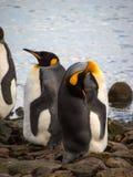 企鹅国王在南乔治亚南极洲 免版税图库摄影