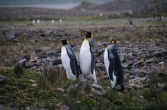 企鹅国王在福尔图纳海湾的求爱仪式 免版税库存图片