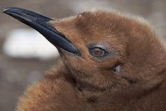 企鹅国王小鸡的画象-福克兰群岛 免版税图库摄影