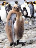 企鹅国王小鸡 免版税库存图片